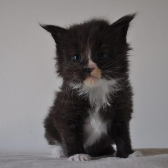 maine_coon_kittens