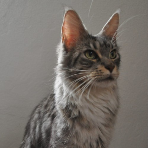 Ulala-maine-coon-Silver