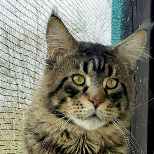 Zest-maine-coon-Black