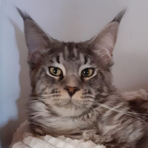 Aristotel-maine-coon-Silver