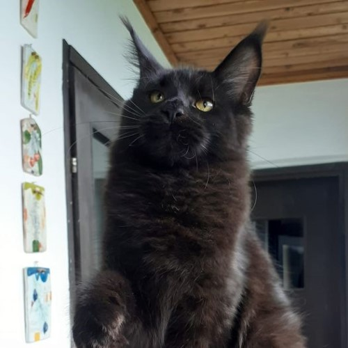 Tabatha-maine-coon-Black
